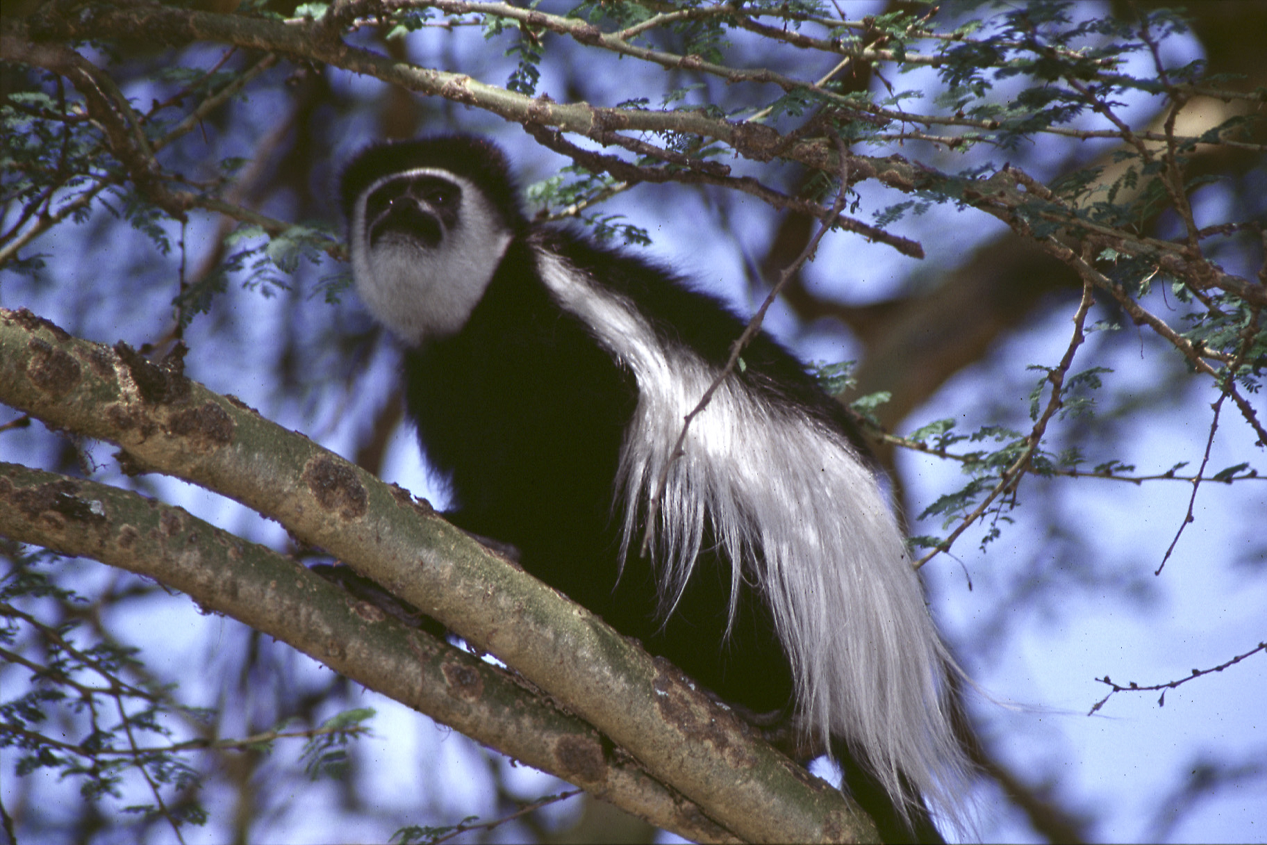 Colobus Monkey, Lake Nakuru, Kenya