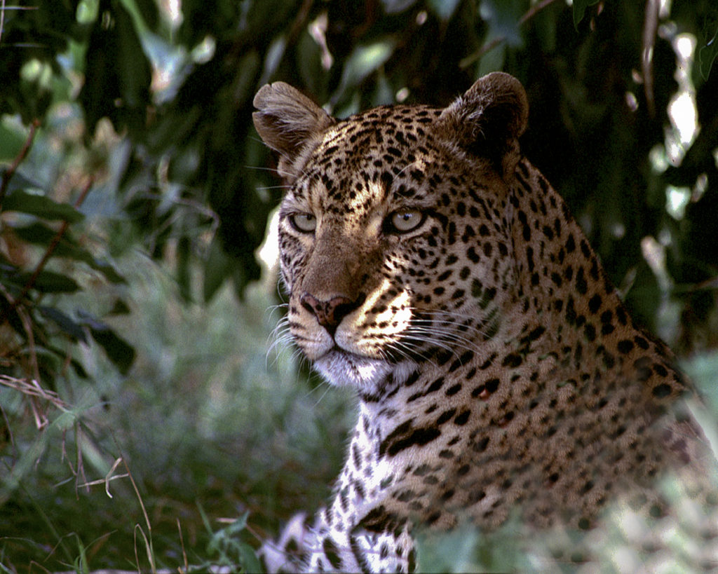 LEOPAR_5-8x10-Edit-Edit